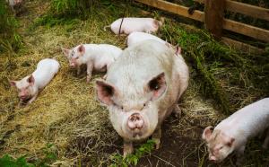 <b>Cómo abordar la producción y comercialización </b> del cerdo en la actualidad