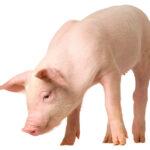 Dextrosa monohidratada: una alternativa al uso de lactosa en dietas de lechones