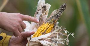 Read more about the article Micotoxinas emergentes: el riesgo ignorado