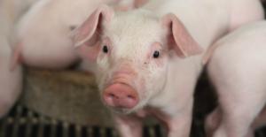 Lee más sobre el artículo ¿Cómo pueden contribuir los aminoácidos funcionales en la salud y desempeño de los animales?